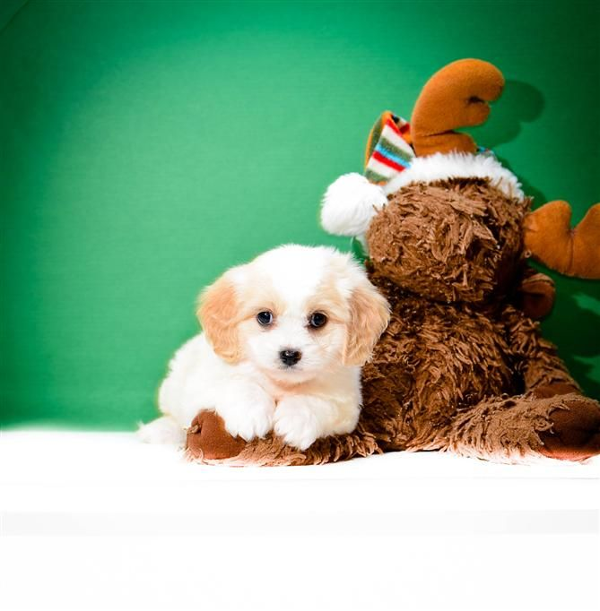 Pin By Affordable Pups On Cava Chon Puppies Puppies Puppies For