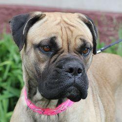 Adopt Alex Went To Rescue On Mastiff Dogs Mastiff Mix Animal