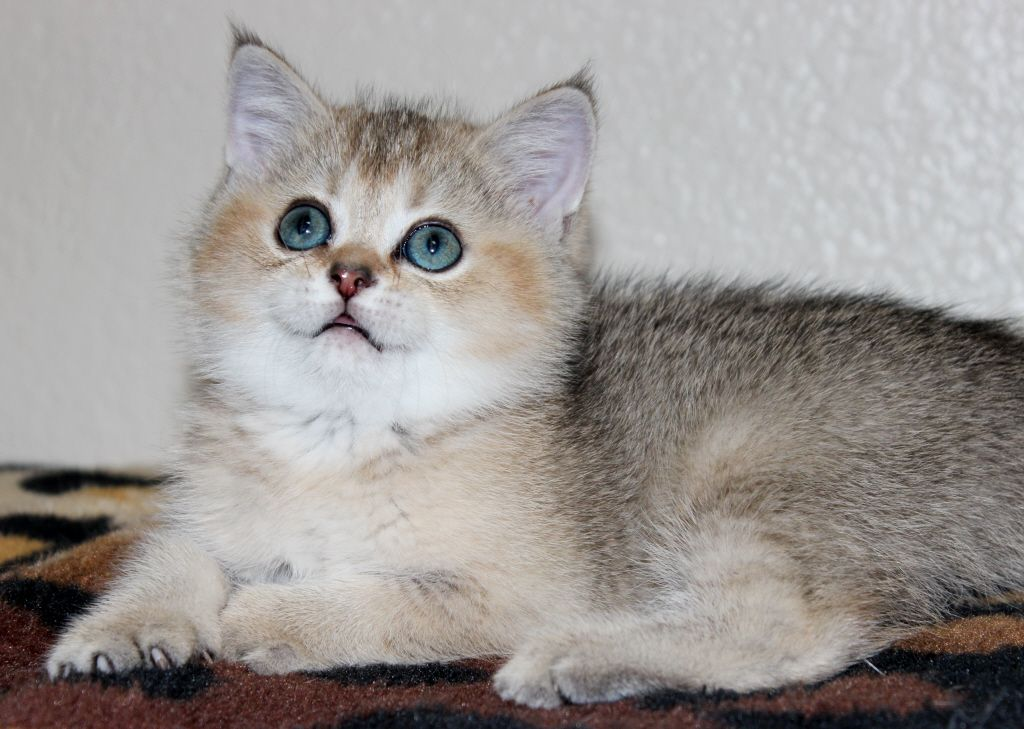 Scottish Folds And British Shorthair Kittens For Sale Chat