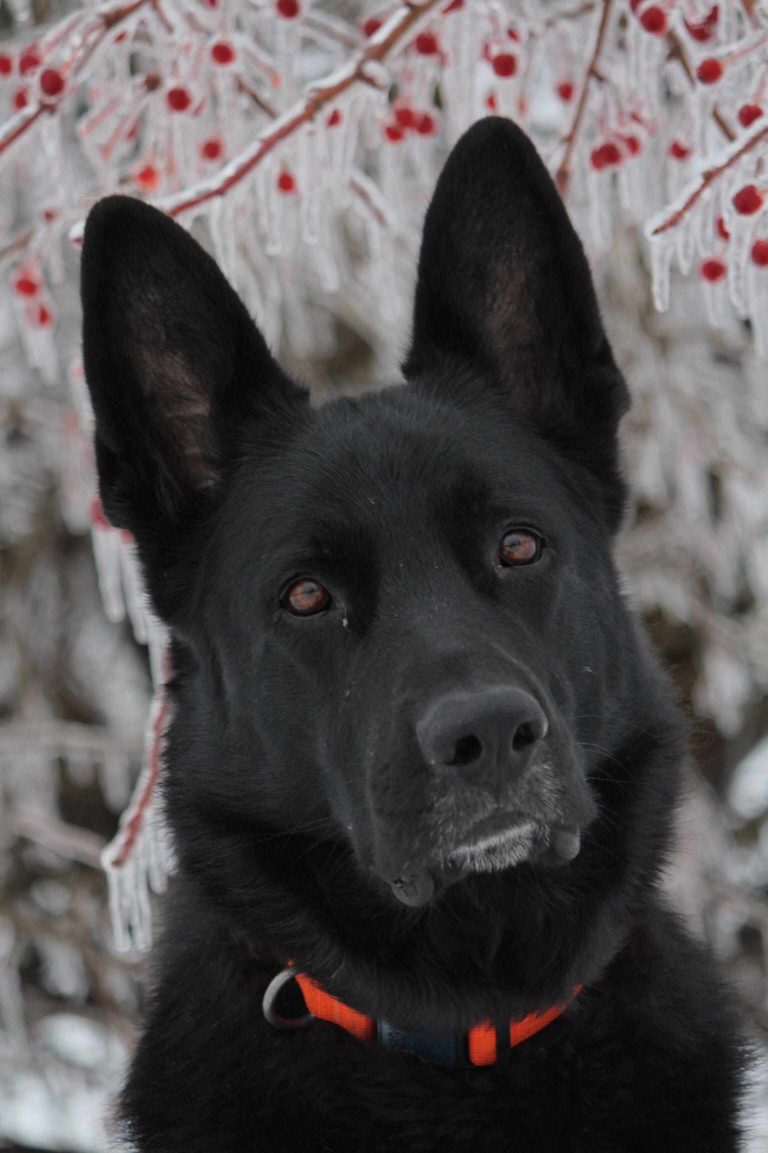 Deer Tracking Black German Shepherd Taken By Haleigh Brooks