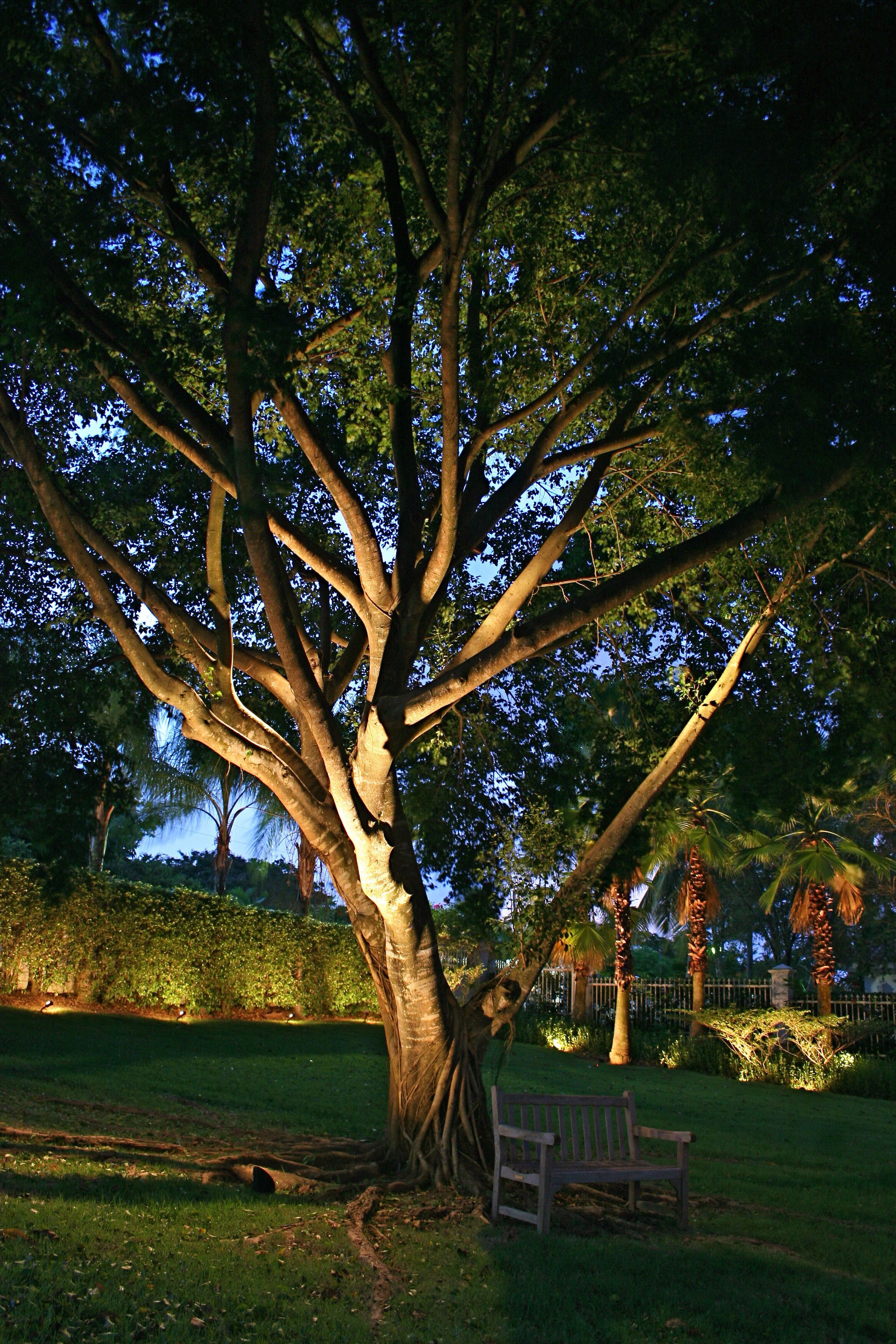 uplighting large trees landscape