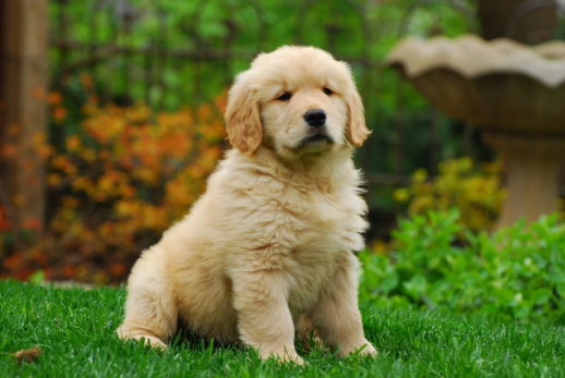 Submissive Or Dominant What Should Be The Personality Of Your Golden Retriever Puppy Golden Retriever Baby Retriever Puppy Cute Dogs Images