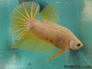 650 Koleksi Gambar Ikan Cupang Dragon HD Terbaru