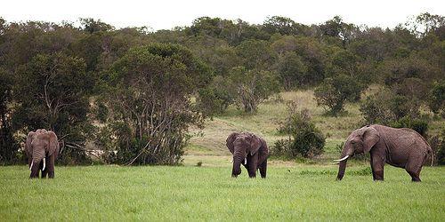Meeting In The Meadow, African Elephants / Afrikanische Elefanten (Loxodonta africana) Sweetwaters game reserve/Ol Pejeta Conservancy, Kenya, Africa