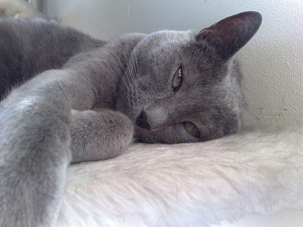 My Russian Blue Cat Leia Cats Pinterest