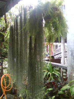 garden chronicles tips to grow spanish moss booth ideas moss garden garden spanish moss. Black Bedroom Furniture Sets. Home Design Ideas