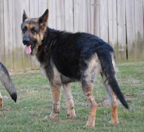 Beautiful Bella Is Ready For A Forever Home German Shepherd