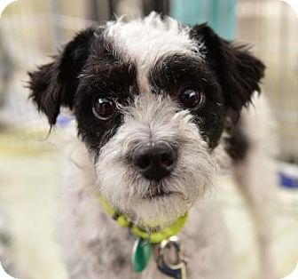 Marina Del Ray, CA - Wirehaired Fox Terrier/Poodle (Miniature) Mix. Meet LUNA, a dog for adoption. http://www.adoptapet.com/pet/17098435-marina-del-ray-california-wirehaired-fox-terrier-mix