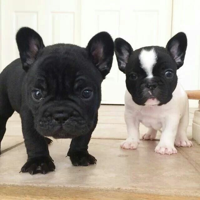 French Bulldog Puppies French Bulldog Puppies Bulldog Puppies