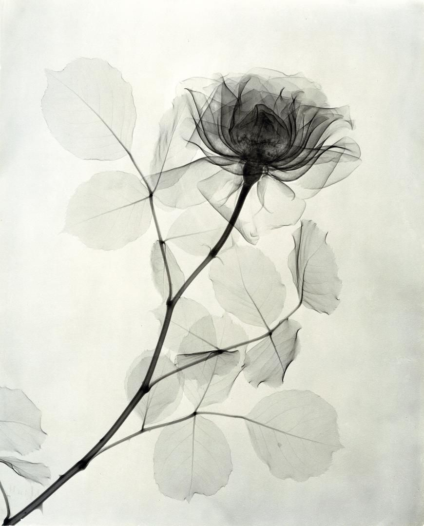 X Ray Photographs From The 1930s Expose The Delicate Details Of Roses And Lilies Colossal Plakater Installationskunst Og Blomster