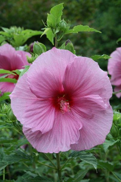 Hibiscus Plum Crazy Pp 11854 Gardens Hibiscus Plants Perennials