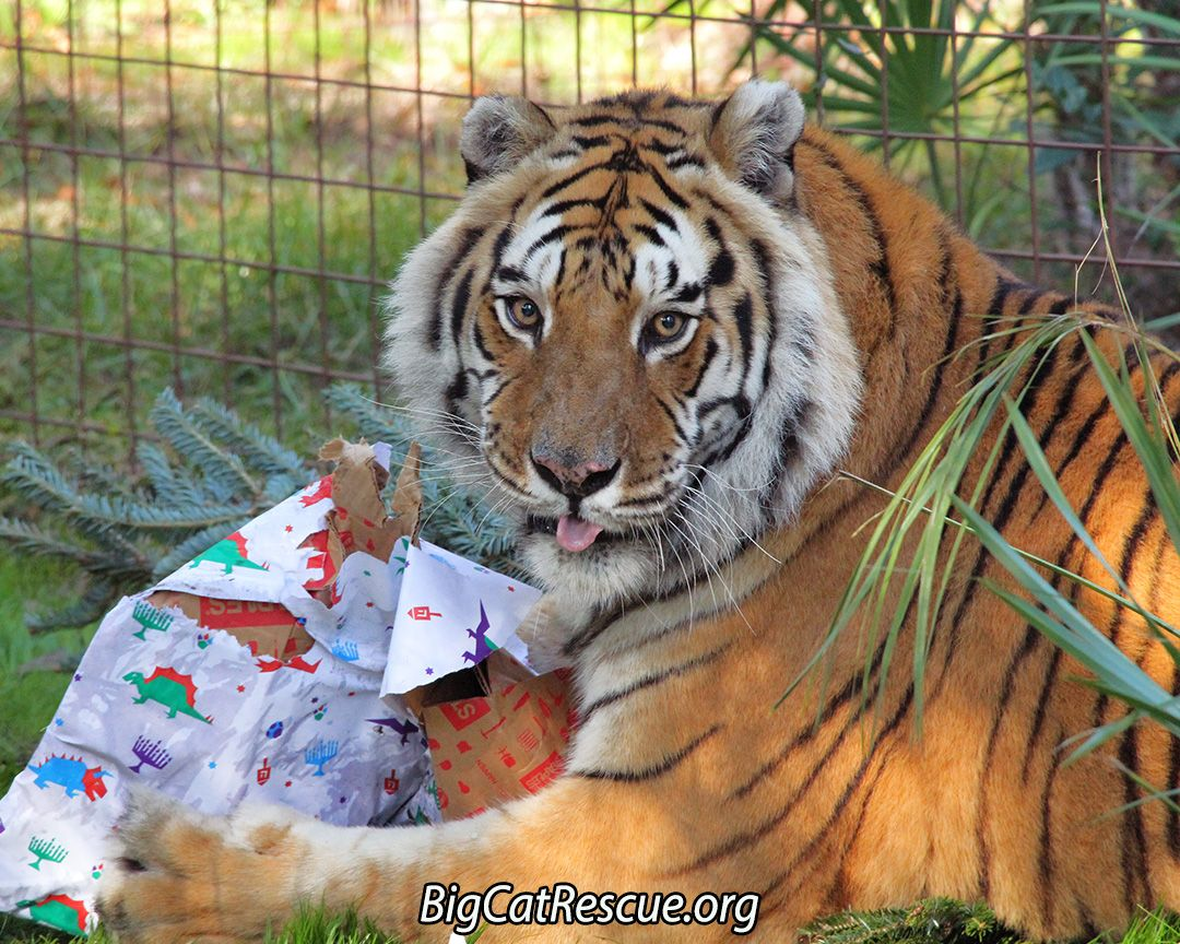 "Charaka Tiger says, ""Updates for Dec 20, 2016 have been"