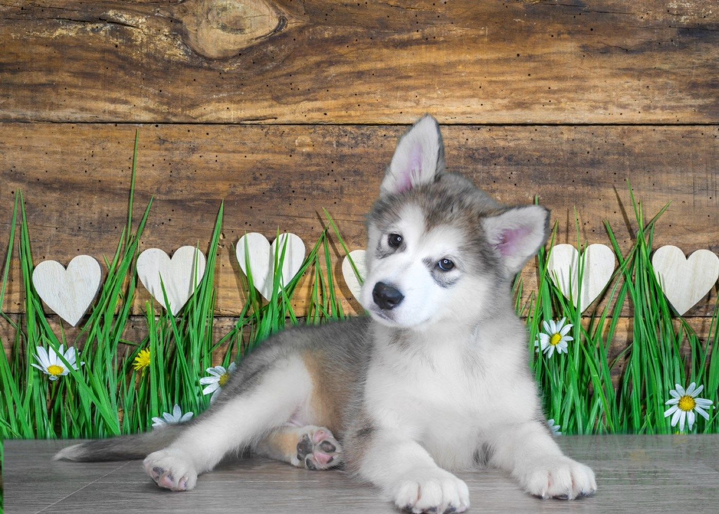 To Check Availability Of This Puppy Please Visit Us At Www Puppiesforsaletoday Com Or Give Us A Call At 435 2 Pet Store Puppies Buy Puppies Online Pet Store