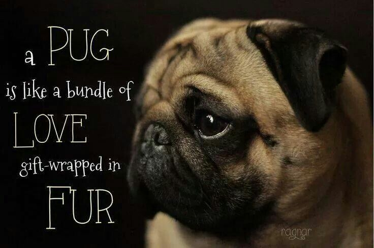 Most Definitely Pugs Funny Pugs Pug Love