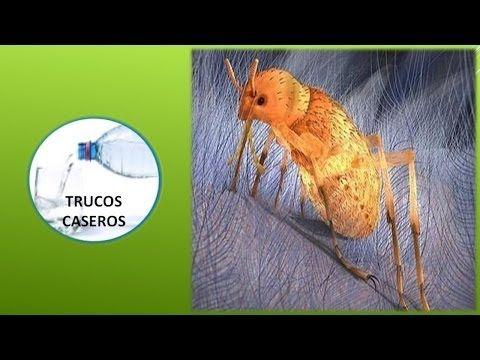 Como eliminar las pulgas en casa remedios caseros contra las pulgas youtube hecho en casa - Como eliminar las pulgas de casa remedio casero ...