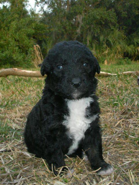 Border Collie Blue Heeler Abd Labradoodle Pup Cute Dogs Puppies Labradoodle