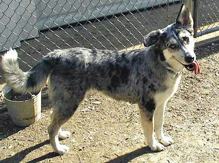 Husky Australian Shepherd Mix Perfect For Matt And Me