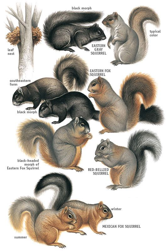 Pictures of different types of squirrels