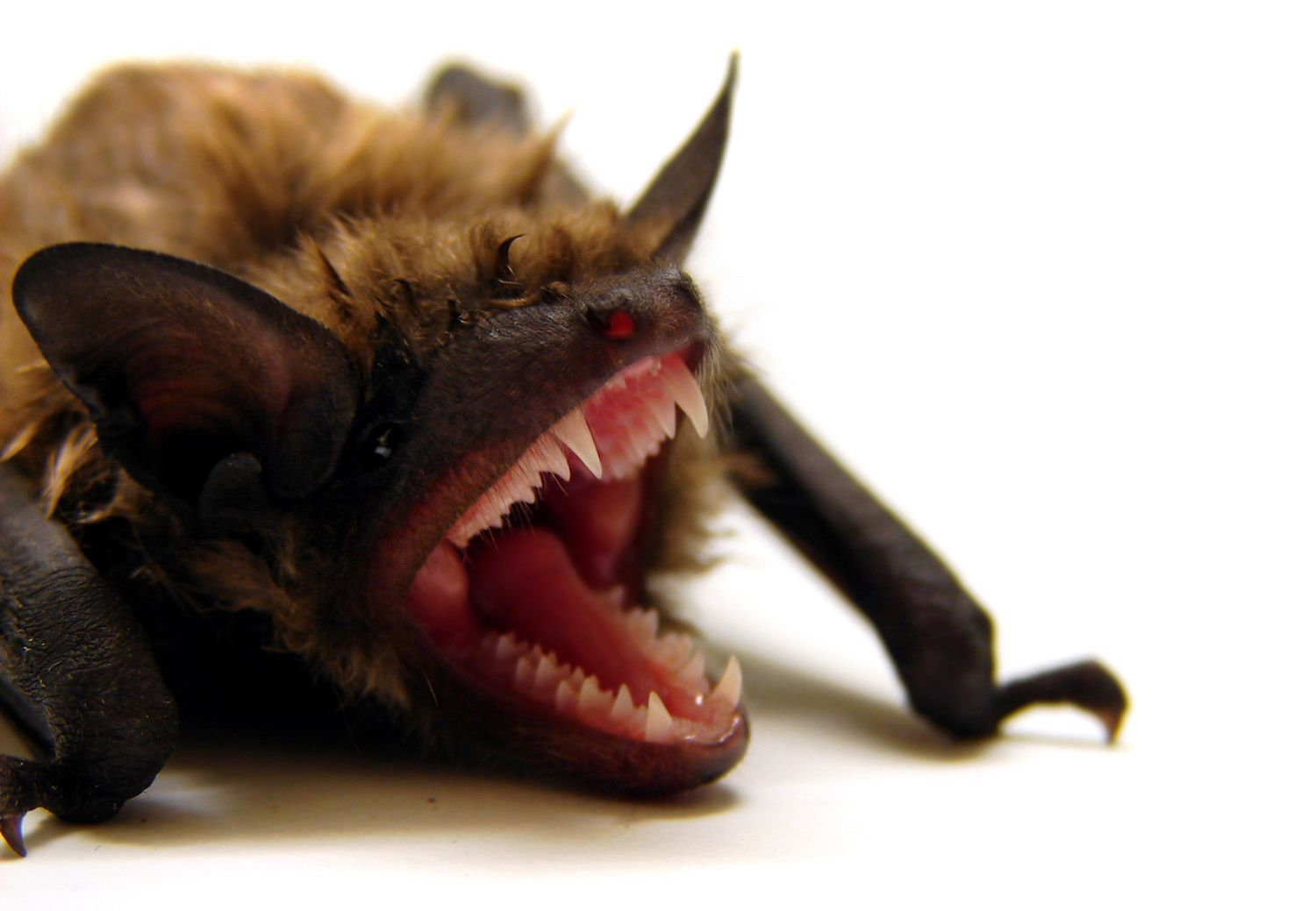 A single colony of 150 big brown bats can protect local farmers from up to 33 million or more rootworms each summer. www.floridawildlifebusters.com