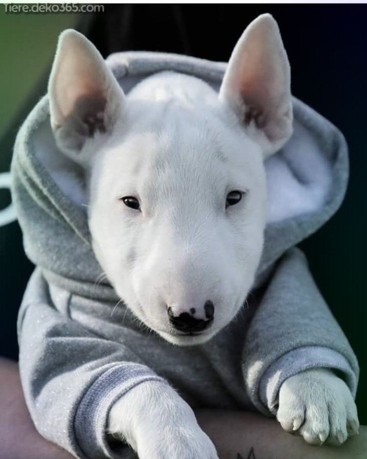 Photo of Great pictures and information about Terrier Bull Terrier