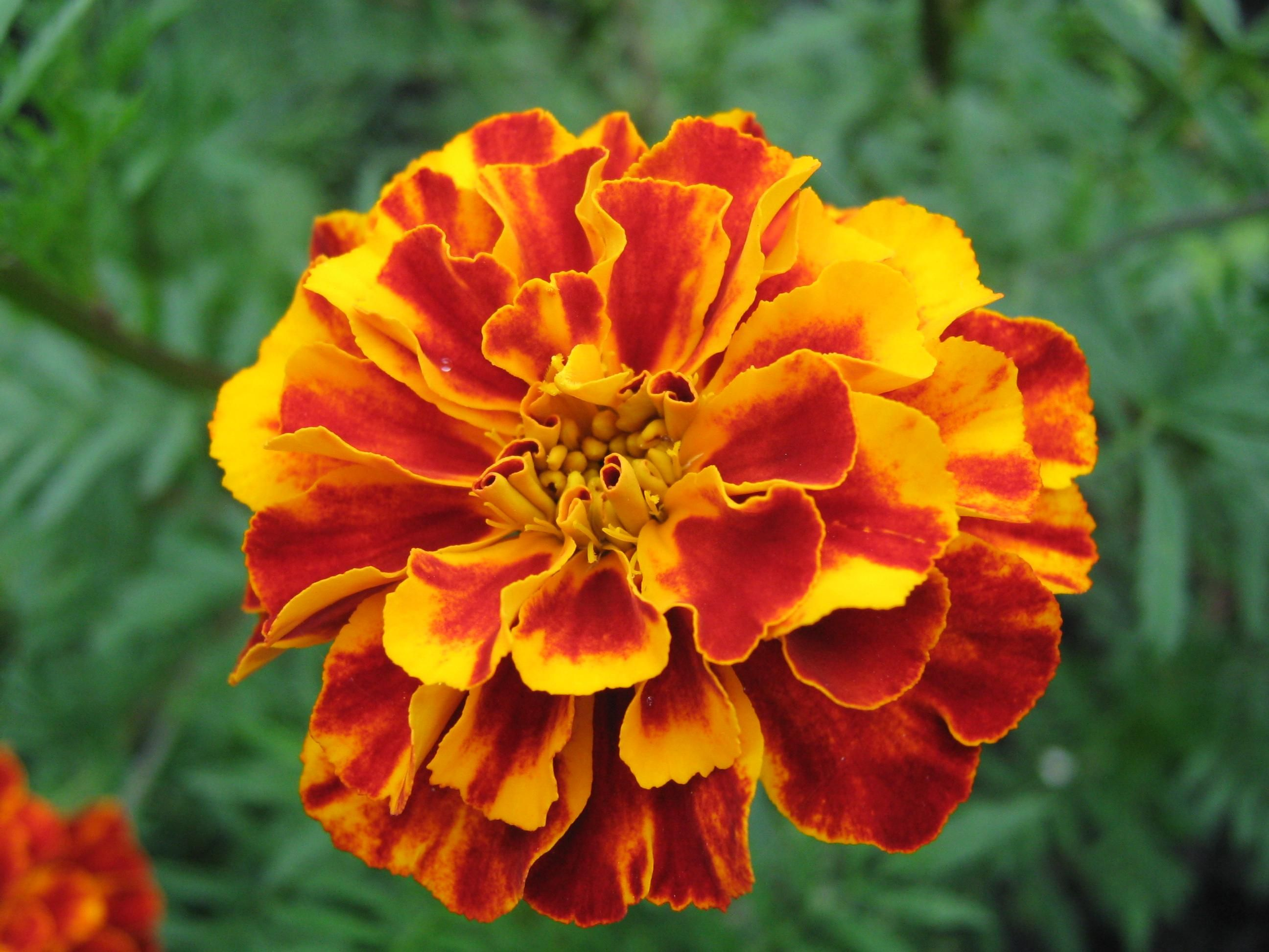 how to make marigolds bloom faster