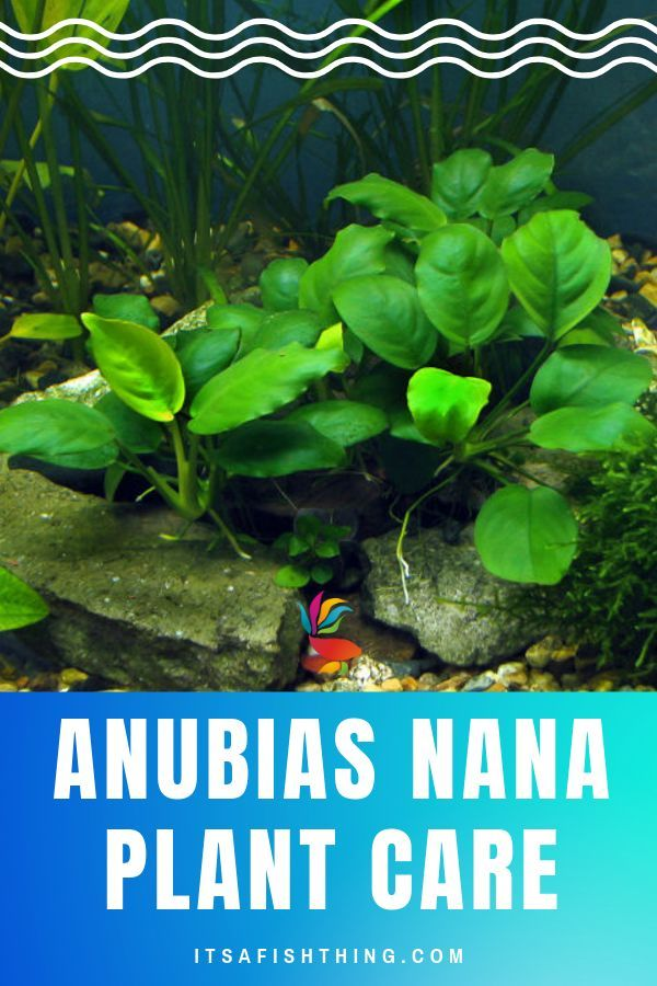 Anubias Nana Detailed Guide To Care Tank Conditions And Propagation Fish Tank Plants Planted Aquarium Nature Aquarium