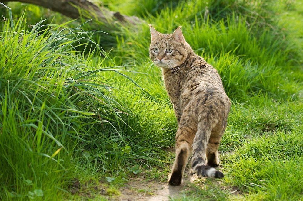 Felis Silvestris Ornata, Asian wildcat Central Asia to