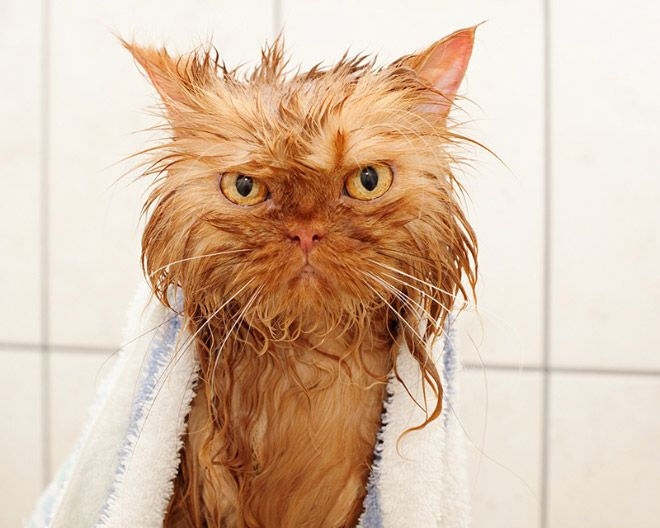 15 Wet Cats Who Will Never Forgive You Cat Bath Wet Cat Angry Cat