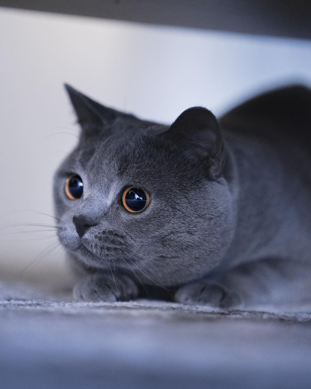 Wolfgang British Shorthair On Instagram So Close To Catching My Mouse I Can Almost Taste It Ca British Shorthair British Shorthair Cats Cat Spray