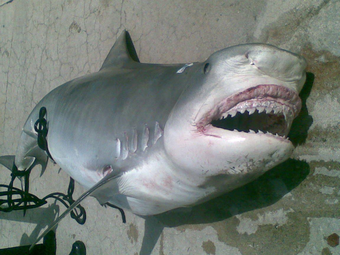 картинки акулы людоед она