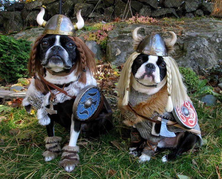Yes Viking Dogs Must Find These For My Pugs Again It