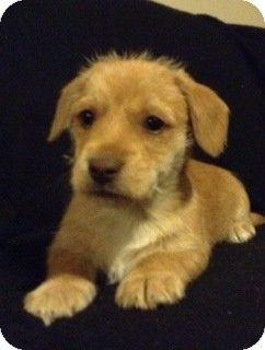 Santa Ana Ca Cairn Terrier Dachshund Mix Meet Boomer A Puppy