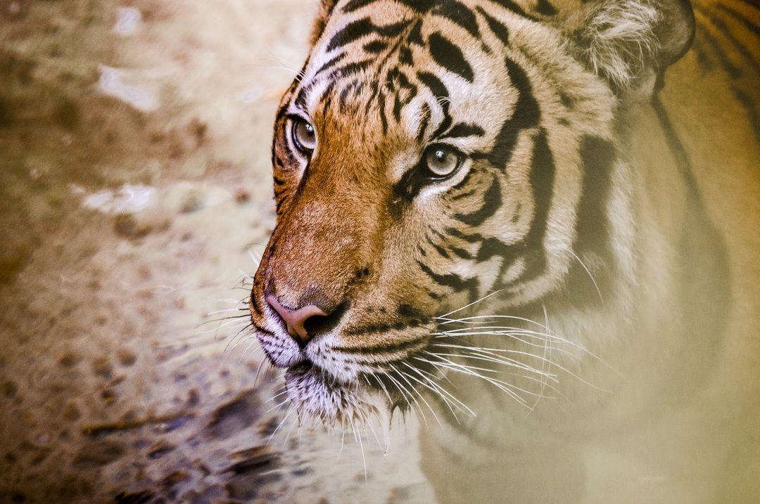 Photo by Jessica Weiller Unsplash Tiger pictures