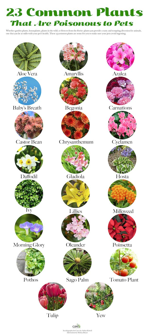 23 Common Plants Poisonous To Pets Plants Poisonous Plants Dog