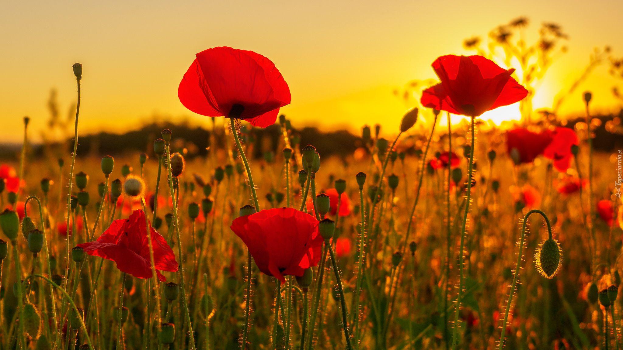 Kwiaty Laka Maki Zachod Slonca Piekne Tapety Na Twoj Pulpit Nature Photography Flower Images Street Art