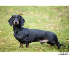 The Dachshund As Part Of The Hound Group Is Built With A Long
