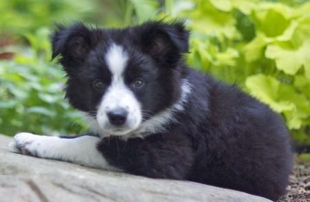 Pin by Katie Scifres on Border collies Border collie mix