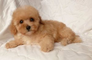 Top Quality Toy Poodle Puppies Laval North Shore Greater