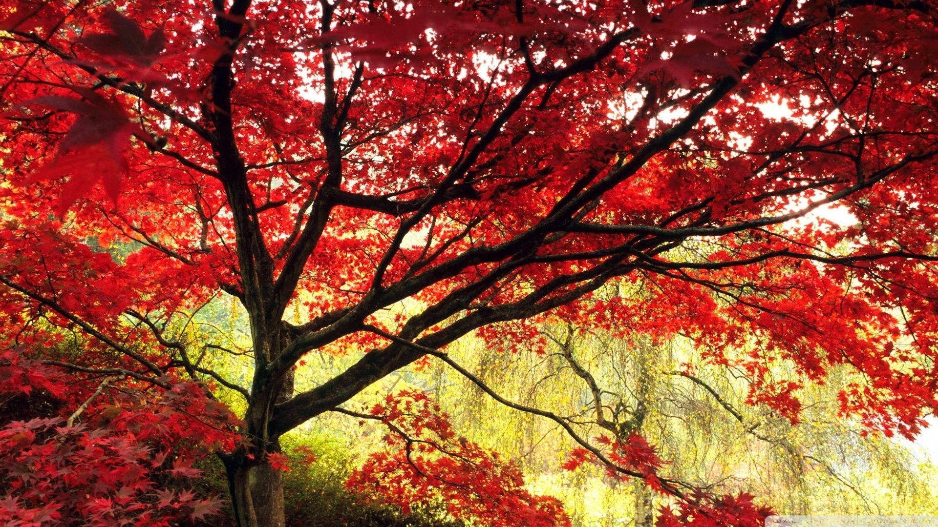 Japanischer Ahorn Wallpaper Japanese Maple Tree Wallpaper 1920x1080 Japanese Maple Tree