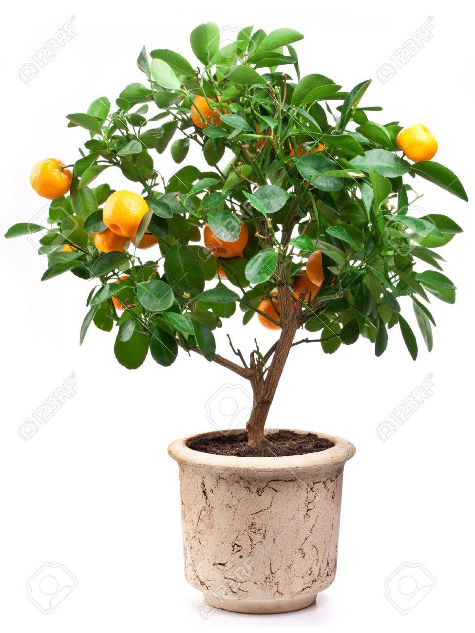 9737692-Small-tangerines-tree-on-white-background--Stock-Photo-tree-lemon-orange.jpg 975×1,300 pixels