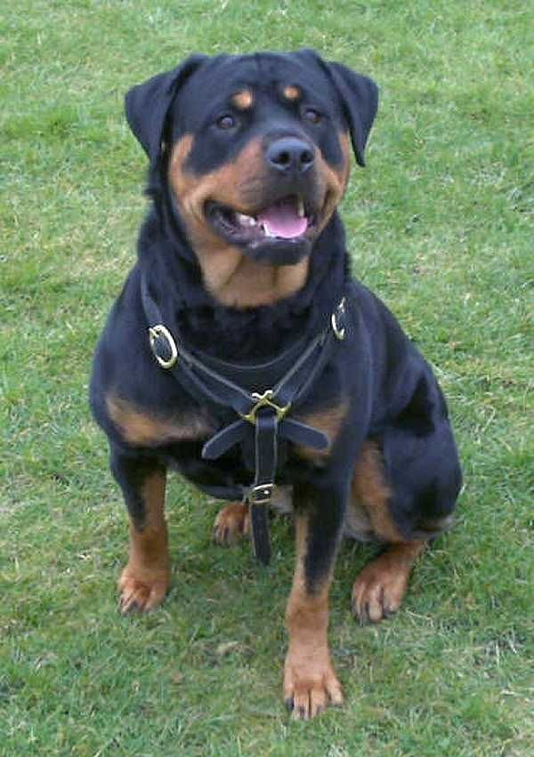 Colorful Pictures Of Rotties Gorgeous Rottweiler Wearing Our