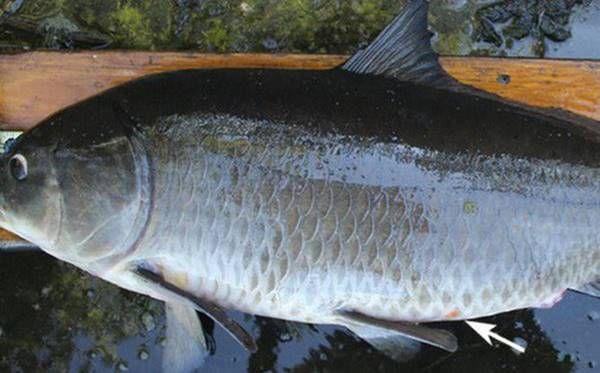 Nằm mơ thấy cá to đánh con gì