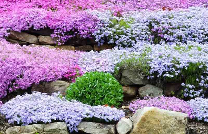 Creeping phlox moss phlox moss pink mountain phlox flower carpet creeping phlox moss phlox moss pink mountain phlox flower carpet groundcover mightylinksfo Image collections