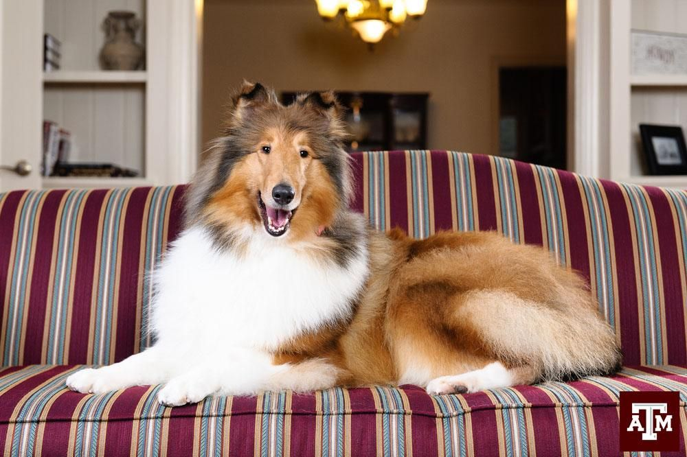 The Eagle On Collie Texas A M Rough Collie