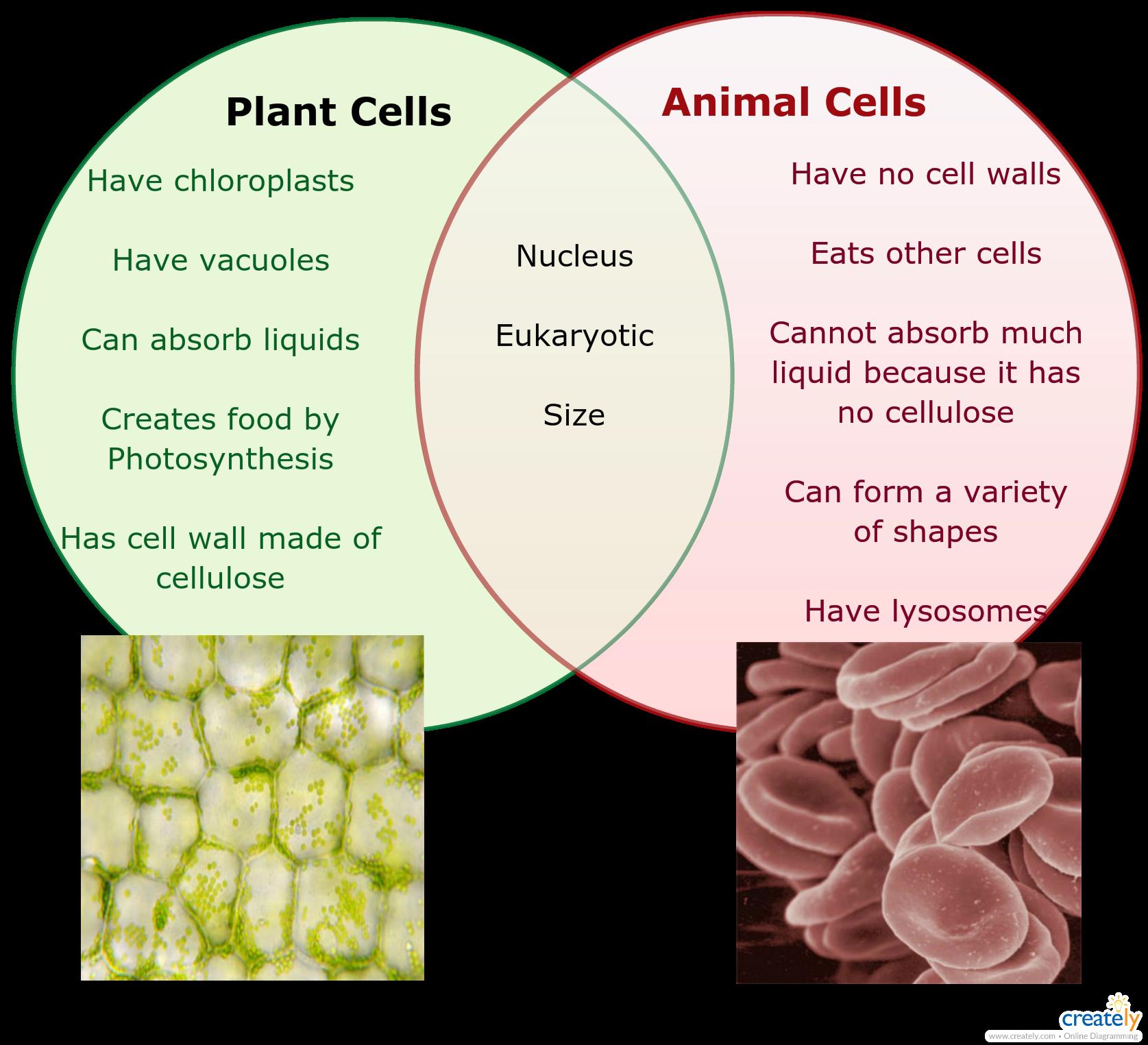 Plant Vs Animal Cells Venn Diagram For Educational