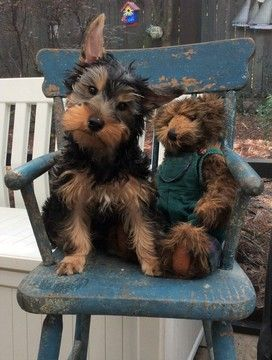 Yorkshire Terrier puppy for sale in PENSACOLA, FL  ADN-23422 on