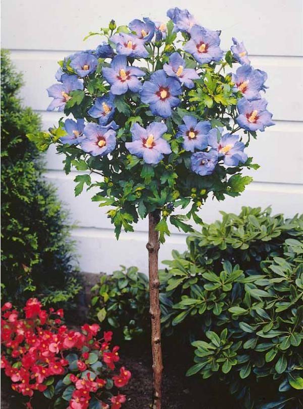Hibiscus de jardin sur tige bleu | Hibiscus - ibišek | Pinterest ...