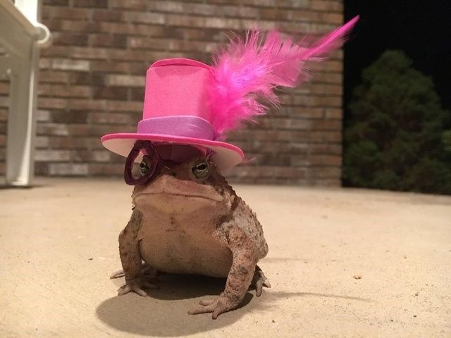 Man Makes Tiny Hats For The Toad That Visits His Porch Every Night #animalcaptions