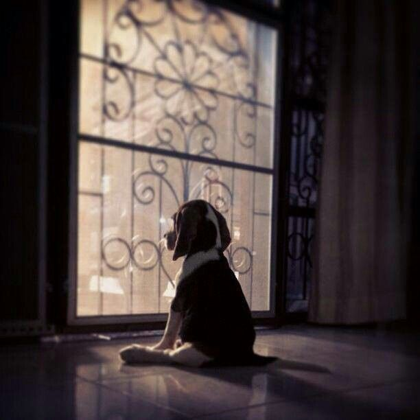 Waiting For Daddy To Come Home Cute Beagles Beagle Dog Beagle