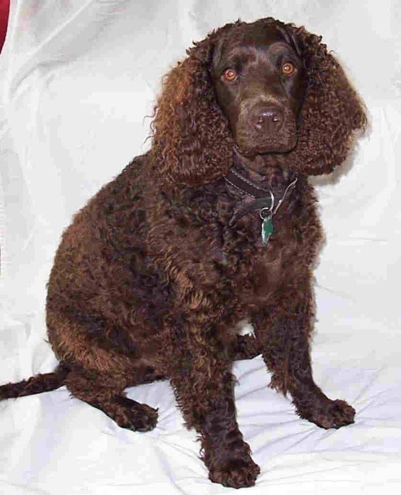 American Water Spaniel American Water Spaniel Spaniel Spaniel Dog